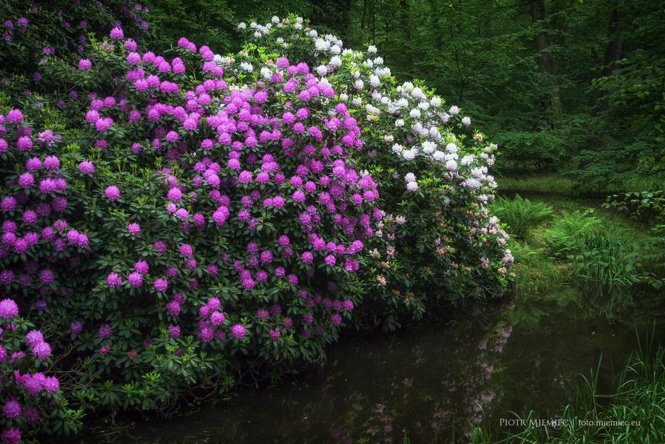 Moszna - rododendrony w parku