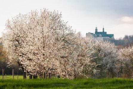 Kwitnące czereśnie – kwiecień 2019