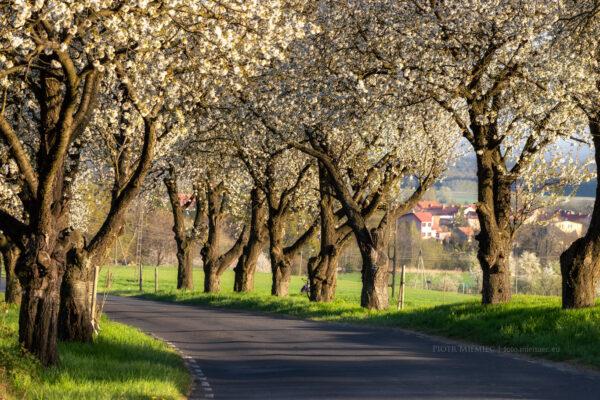 Czereśnie na Anabergu – kwiecień 2020