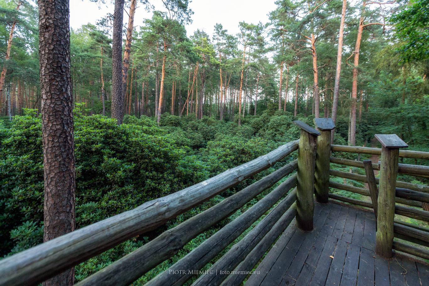 Pawełki Rododendrony w lesie