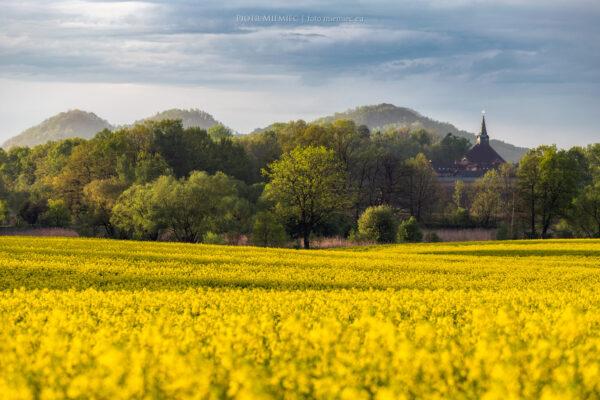 Kwitnące pola rzepaku w Stanowicach